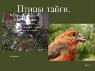 Птицы тайги. кедровка клест