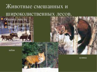 Животные смешанных и широколиственных лесов. кабан куница лиса
