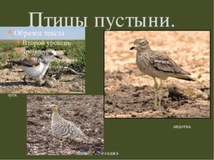 Птицы пустыни. зуёк авдотка саджа