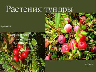 Растения тундры брусника клюква