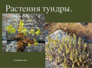 Растения тундры. полярная ива