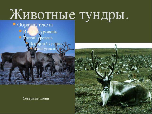 Животные тундры. Северные олени