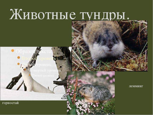 Животные тундры. горностай лемминг