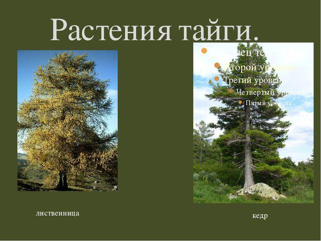 Растения тайги. кедр лиственница