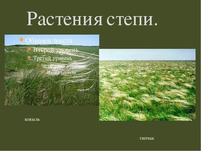 Растения степи. ковыль типчак