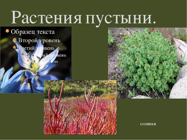 Растения пустыни. солянки