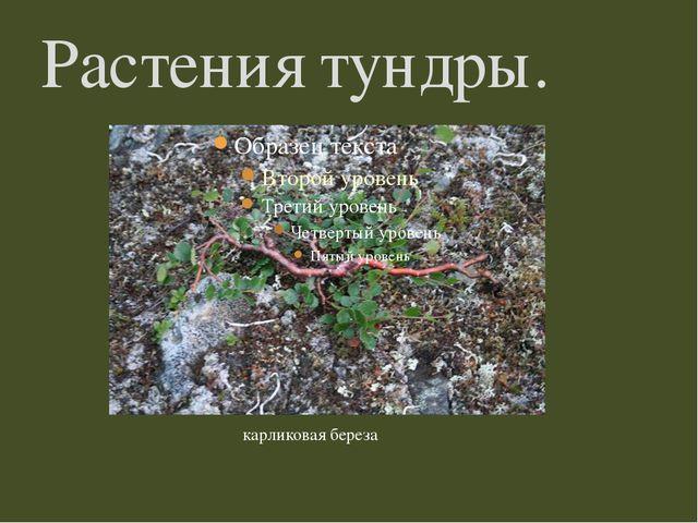 Растения тундры. карликовая береза