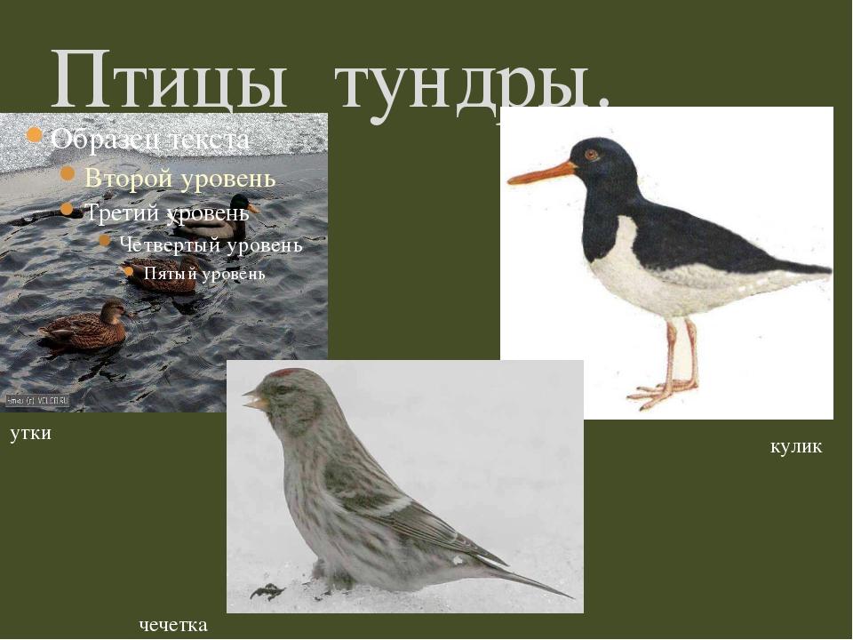 Птицы тундры. утки кулик чечетка
