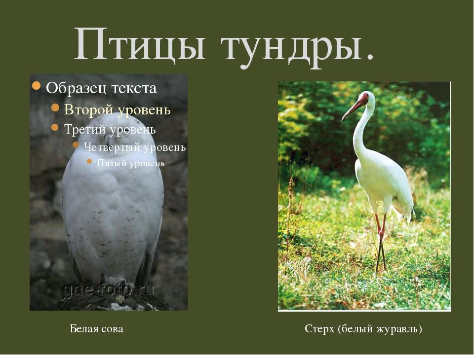 Птицы тундры. Белая сова Стерх (белый журавль)