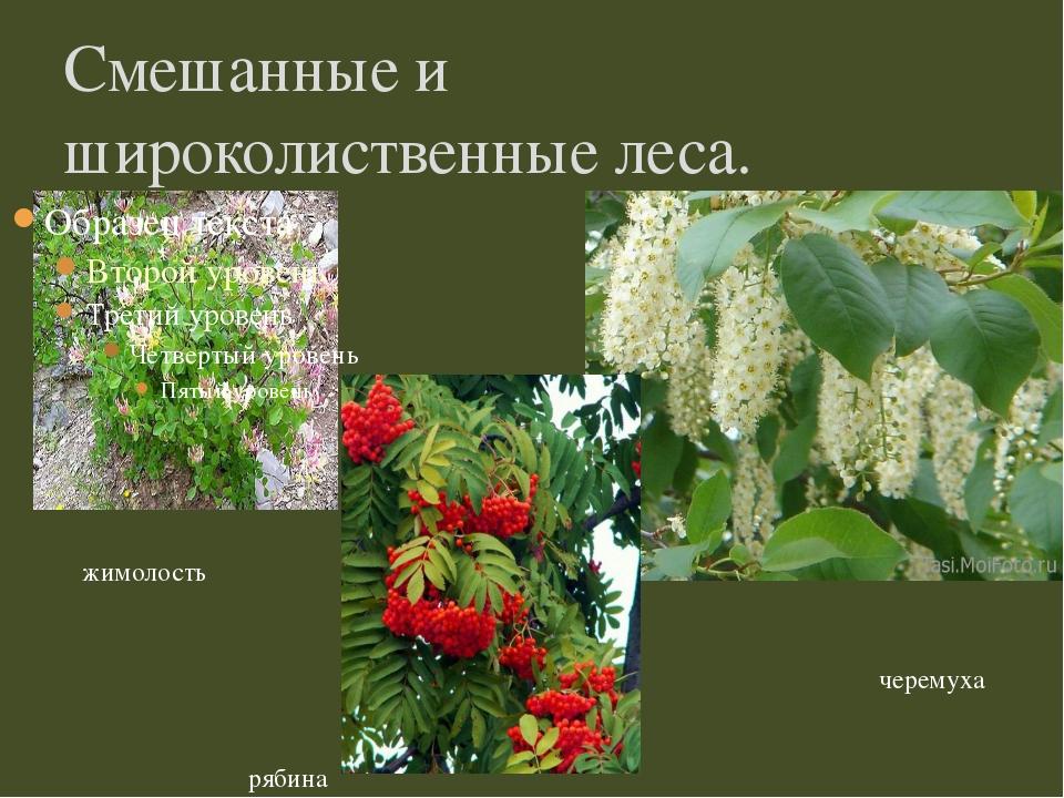 Смешанные и широколиственные леса. жимолость черемуха рябина