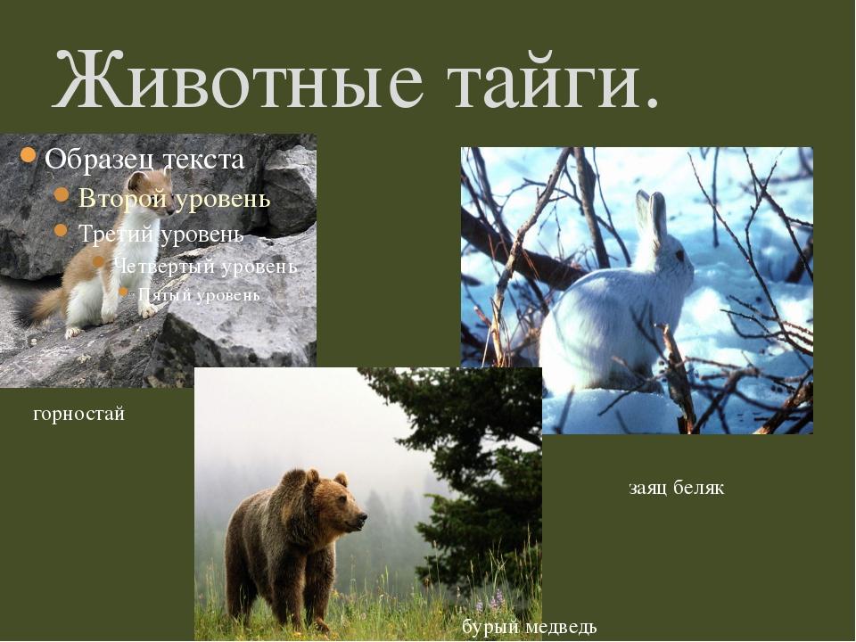Животные тайги. горностай заяц беляк бурый медведь