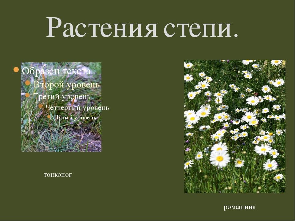 Растения степи. тонконог ромашник