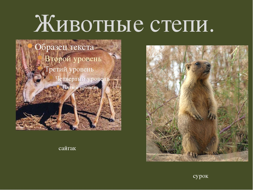 Животные степи. сайгак сурок