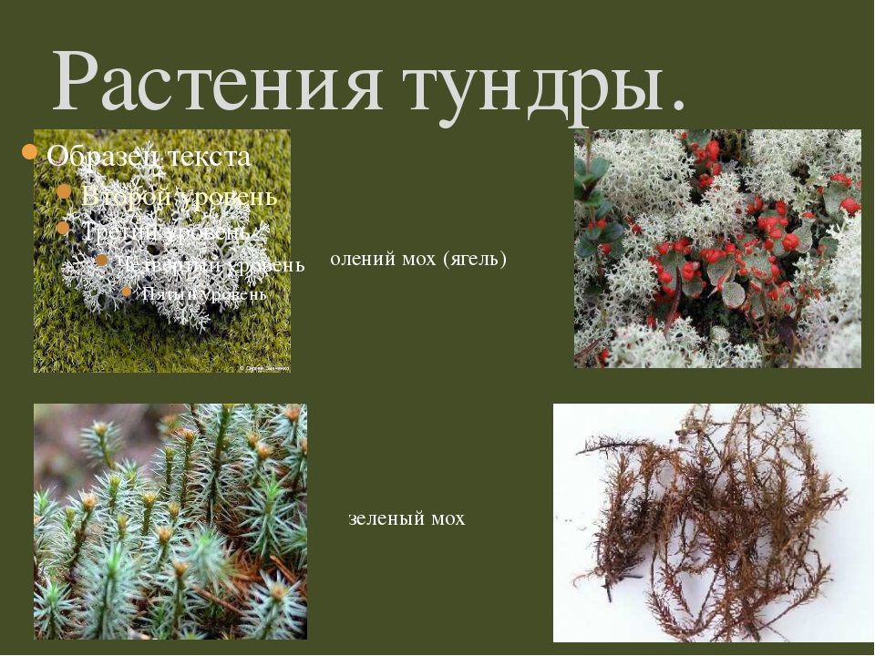 Растения тундры. олений мох (ягель) зеленый мох