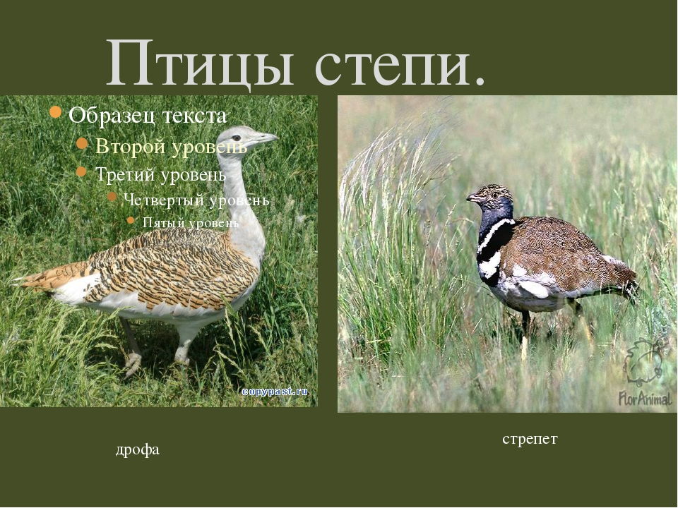 Птицы степи. дрофа стрепет