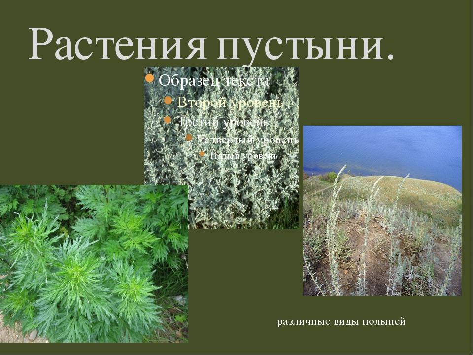 Растения пустыни. различные виды полыней