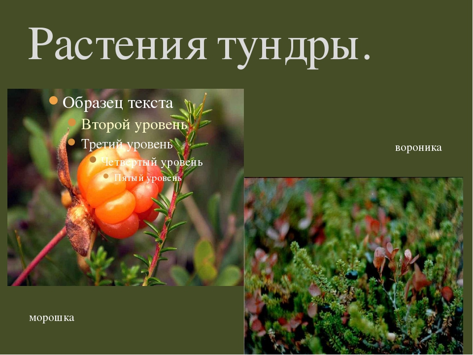 Растения тундры. морошка вороника