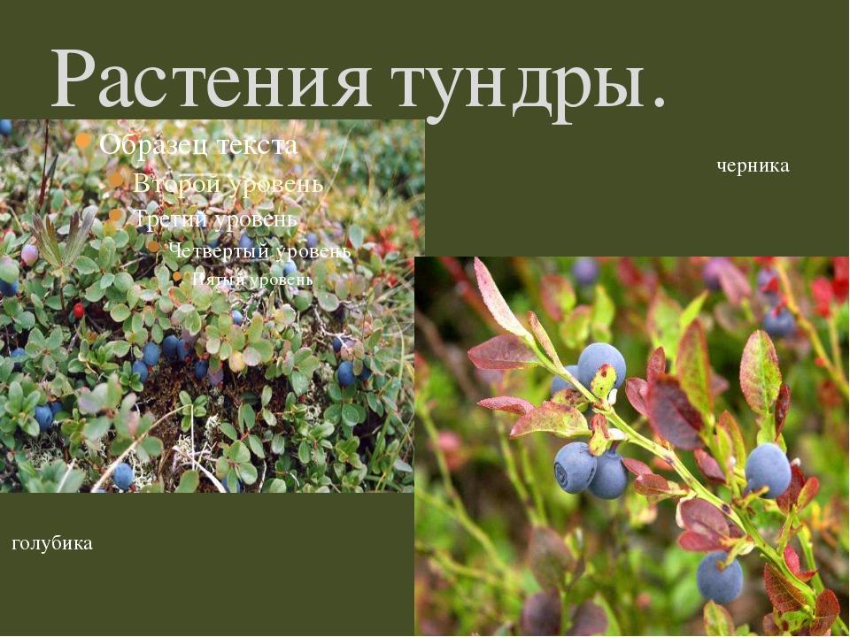 Растения тундры. голубика черника