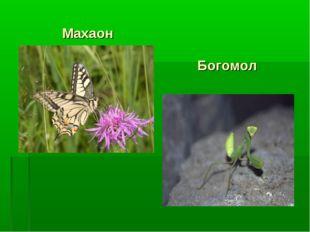 Махаон Богомол