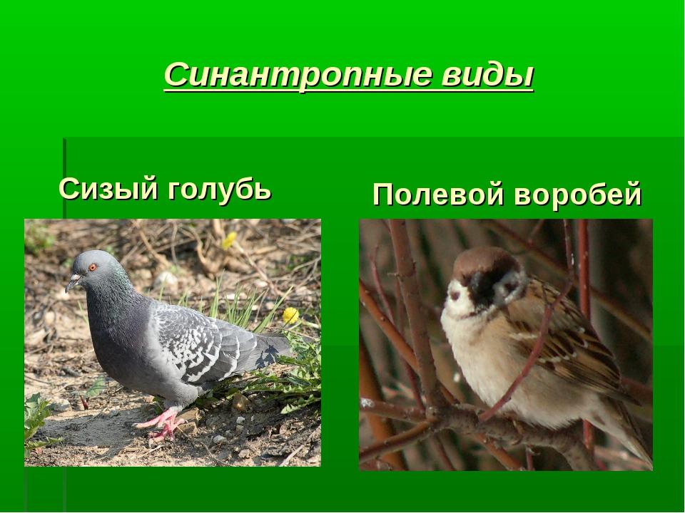 Синантропные виды Сизый голубь Полевой воробей