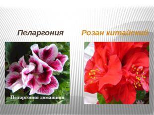 Пеларгония Розан китайский