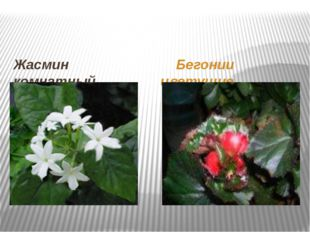 Жасмин комнатный Бегонии цветущие