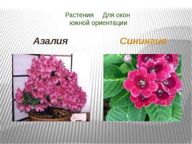 Растения Для окон южной ориентации Азалия Синингия