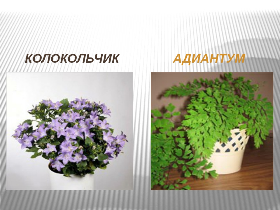 КОЛОКОЛЬЧИК АДИАНТУМ