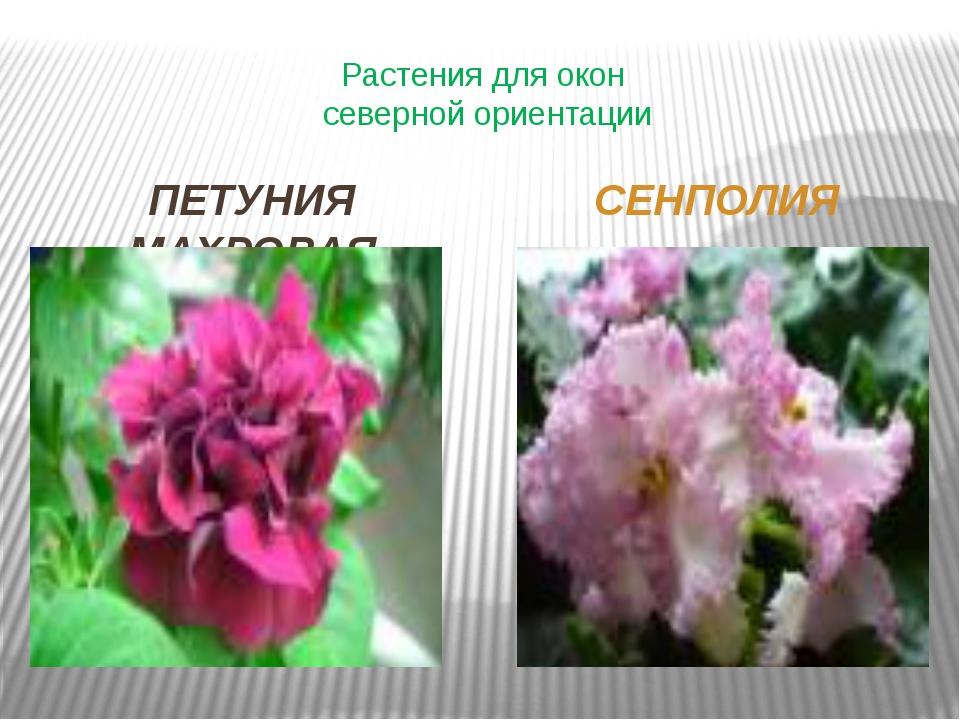 Растения для окон северной ориентации ПЕТУНИЯ МАХРОВАЯ СЕНПОЛИЯ