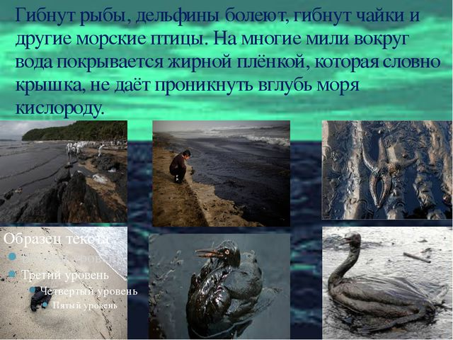 Гибнут рыбы, дельфины болеют, гибнут чайки и другие морские птицы. На многие...