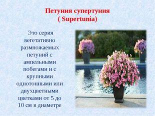Петуния супертуния ( Supertunia) Это серия вегетативно размножаемых петуний с