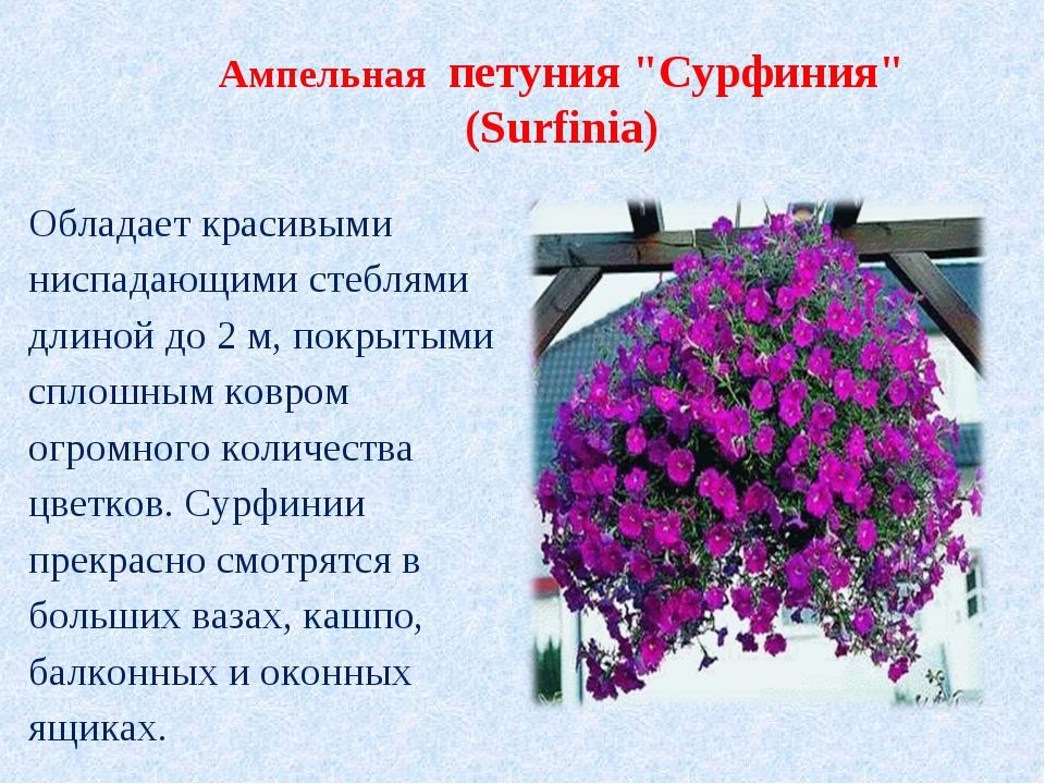 """Ампельная петуния """"Сурфиния"""" (Surfinia) Обладает красивыми ниспадающими стеб..."""