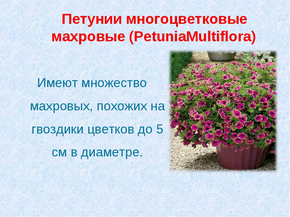 Петунии многоцветковые махровые (PetuniaMultiflora) Имеют множество махровых...