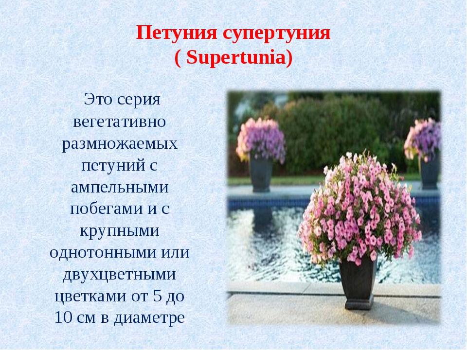 Петуния супертуния ( Supertunia) Это серия вегетативно размножаемых петуний с...