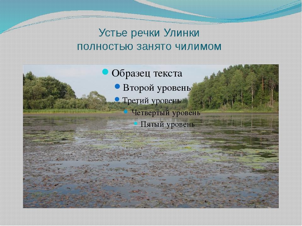 Устье речки Улинки полностью занято чилимом