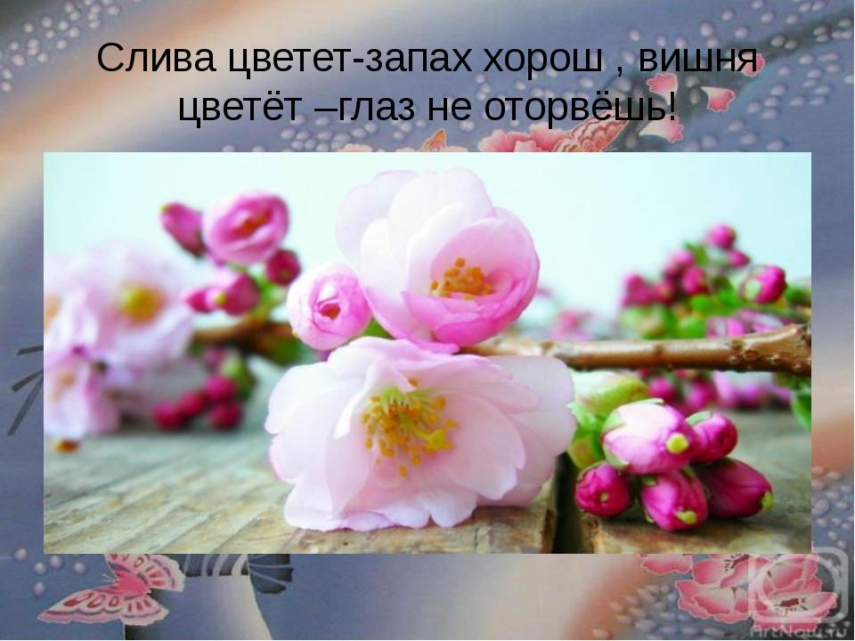 Слива цветет-запах хорош , вишня цветёт –глаз не оторвёшь!
