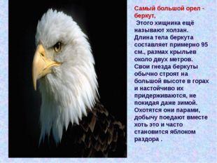 Самый большой орел- беркут, Этого хищника ещё называют холзан. Длина тела бе