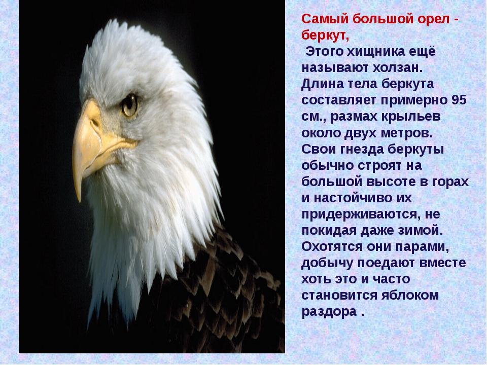 Самый большой орел- беркут, Этого хищника ещё называют холзан. Длина тела бе...