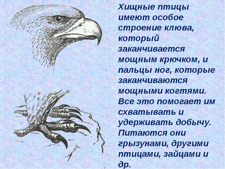 Хищные птицы имеют особое строение клюва, который заканчивается мощным крючк...