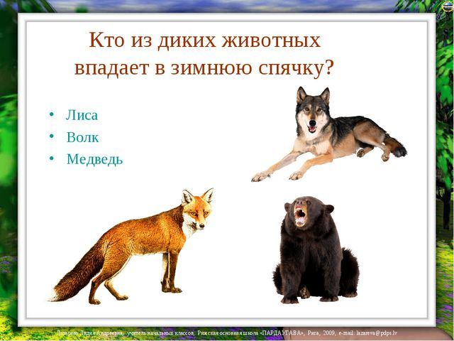 Кто из диких животных впадает в зимнюю спячку? Лиса Волк Медведь Лазарева Лид...