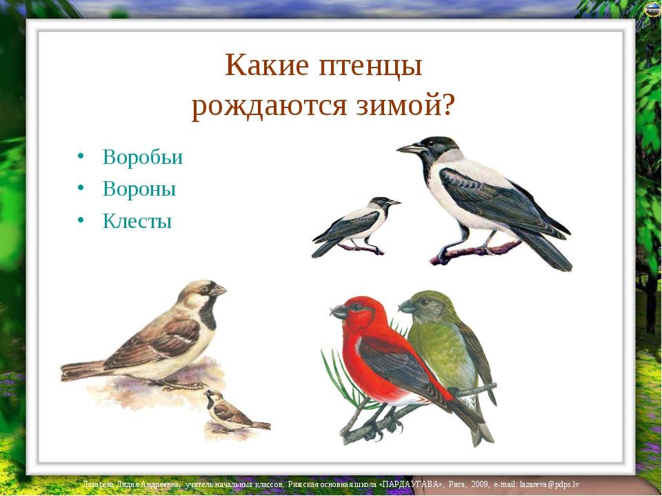 Какие птенцы рождаются зимой? Воробьи Вороны Клесты Лазарева Лидия Андреевна,...
