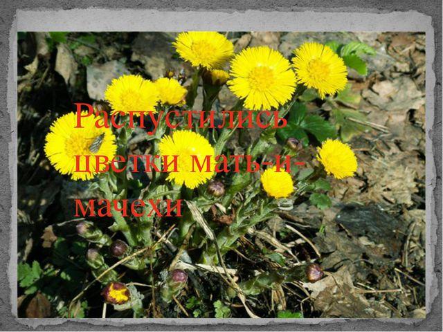 Распустились цветки мать-и-мачехи