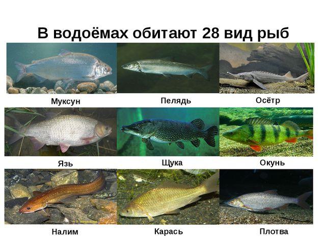 В водоёмах обитают 28 вид рыб Муксун Пелядь Осётр Язь Щука Окунь Налим Карась...