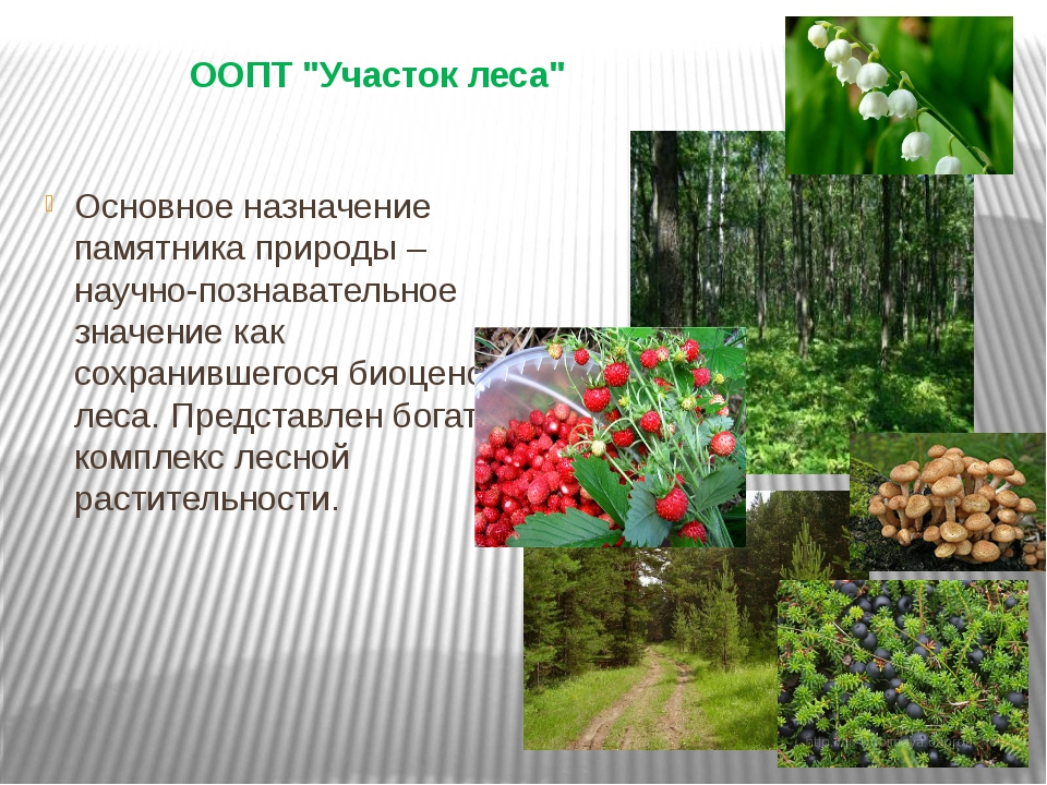 "ООПТ ""Участок леса"" Основное назначение памятника природы – научно-познавател..."