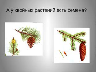 А у хвойных растений есть семена?