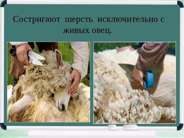 Состригают шерсть исключительно с живых овец.