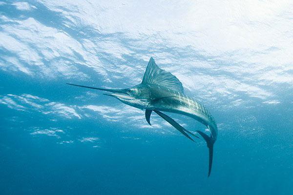 E:\Наталья 1\фото рыбы\black_sea_21.jpg