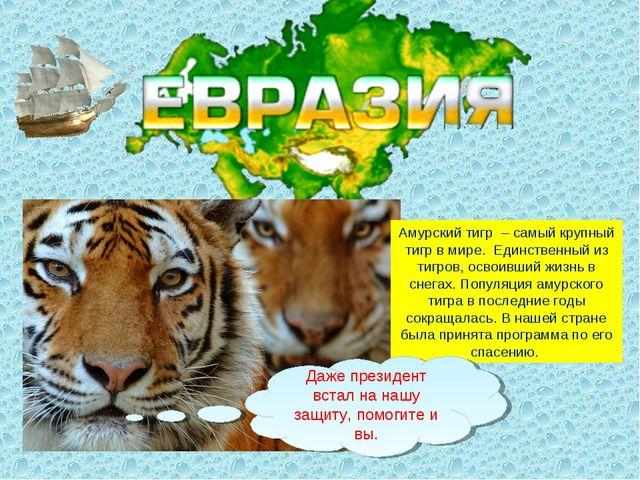 Амурский тигр– самый крупный тигр в мире. Единственный из тигров, освоивший...