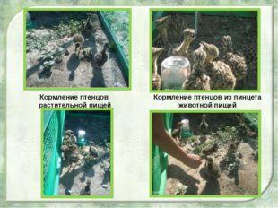 Кормление птенцов из пинцета животной пищей Кормление птенцов растительной п