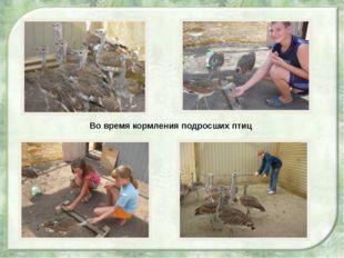 Во время кормления подросших птиц